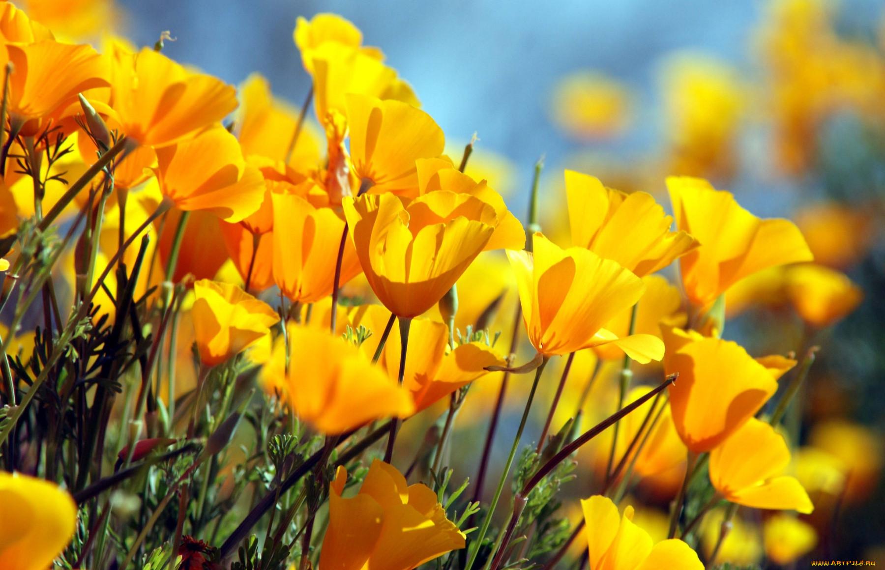 Обои цветы, Эшшольция. Цветы foto 6